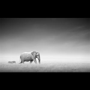 olifant met zebra glasschilderij
