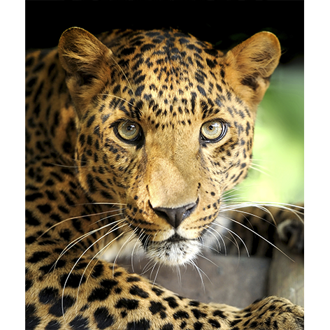 leopard portret on darkbackground