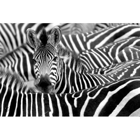 mondiart zebra's aluart 80 x 120 cm