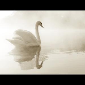 Mondiart mute Swan aluart 60 x 80 cm