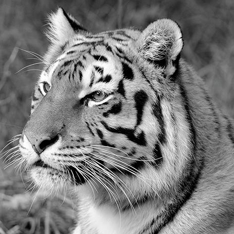 Mondiart tijger op glas 80 x 80 cm