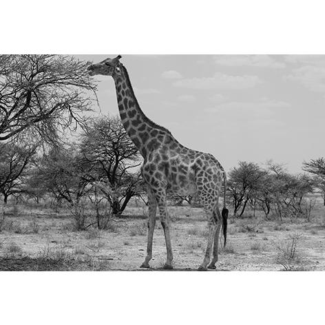 Mondiart giraf glas 80 x 120 cm