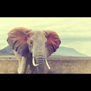 mondiart wild african elephant glasart