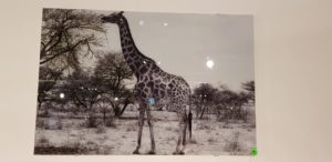 mondiart giraffe glasart 80 x 120 cm showroommodel